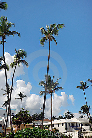 Palm Trees In Front Of Azure Skyline.
