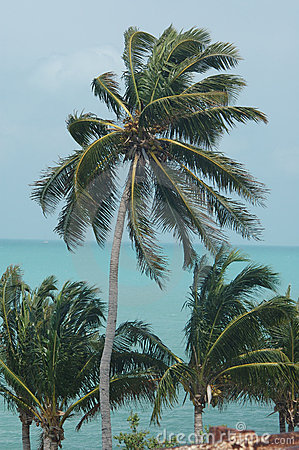 Palm trees in key West