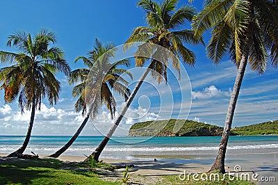 Palm trees on La Sagesse beach on Grenada Island