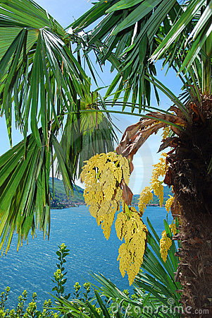 Palm trees on lake lugano