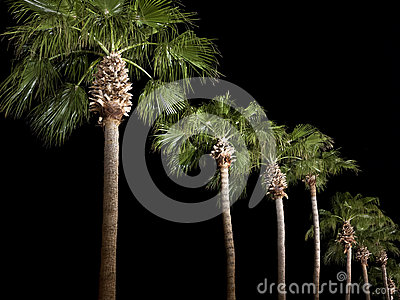 Palm Trees line the parkway at night
