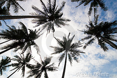 Palm trees low angle