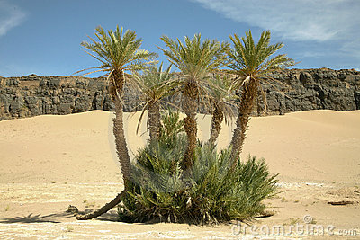 Palm trees in the moroccan desert