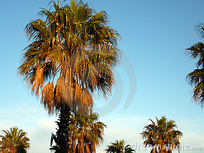 Palm trees by sunset