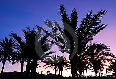 Palm trees sunset