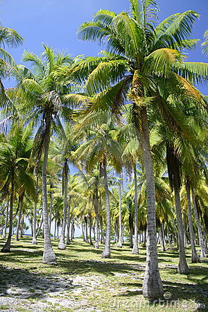 Palm trees in Tahiti