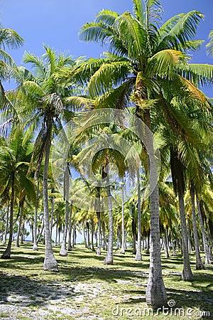 Palm trees in Tahiti