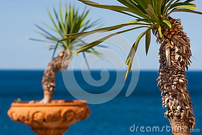 Palm trees in terra cotta pots with the ocean in the background in Italy, Europe