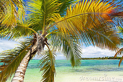 Palm on tropical beach of caribbean sea