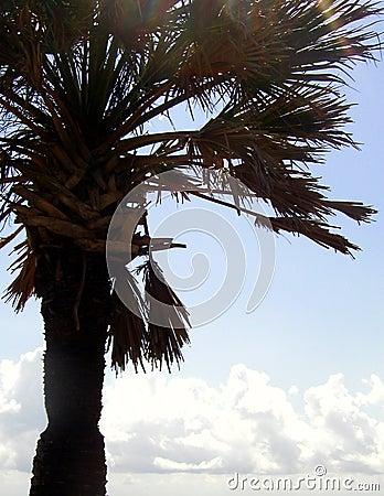 Palma colhida