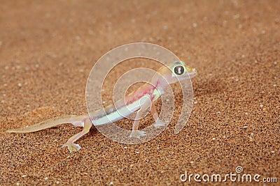 Palmato gecko lizard