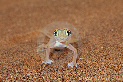 Palmato gecko lizard front view