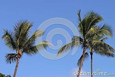 Palme in Hawai