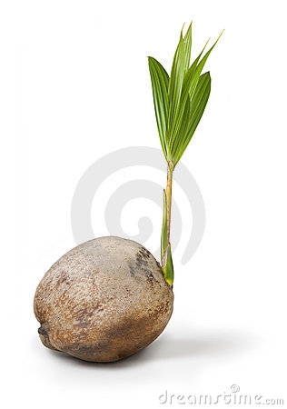 Palmeira do coco