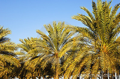 Palmes da tâmara
