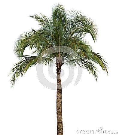Palmier sur le fond blanc image libre de droits image - Palmier noix de coco ...