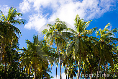 Palms on a background sky in tropics