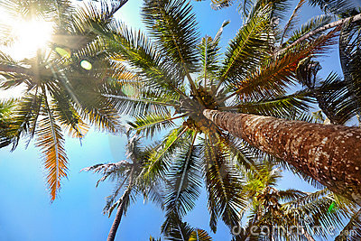 Palms with coconuts