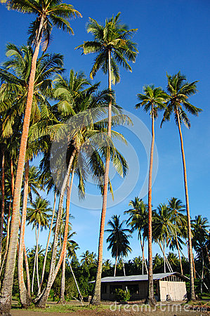 Palms and house in Papua New Guinea village