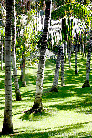 Palms trees on short grass