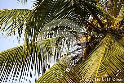 Palmträd med kokosnötter.