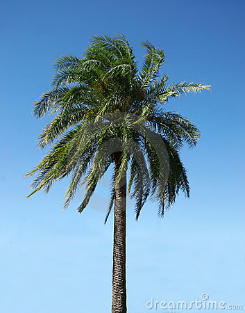 Palmtree on a clear day