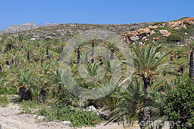 Palmtree forest at Crete island, Greece