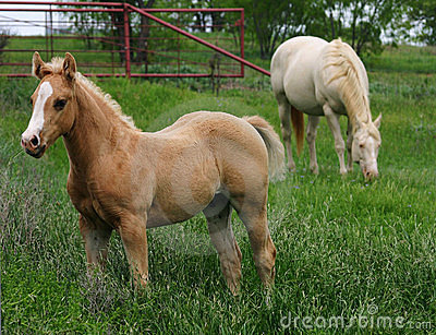 Palomino Colt with Mare
