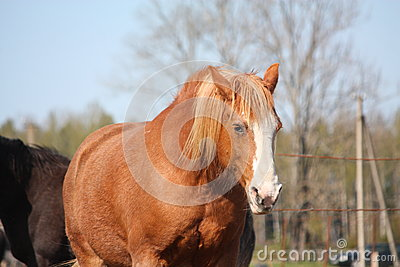 Palomino draght horse portrait