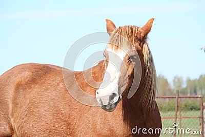Palomino draght horse portrait