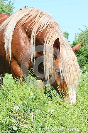 Palomino draught horse eating grass