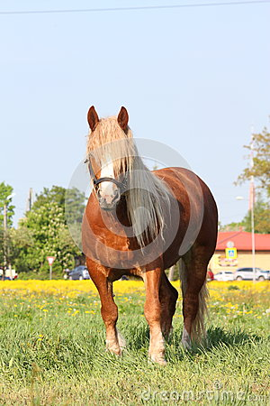 Palomino draught horse eating grass at the pasture