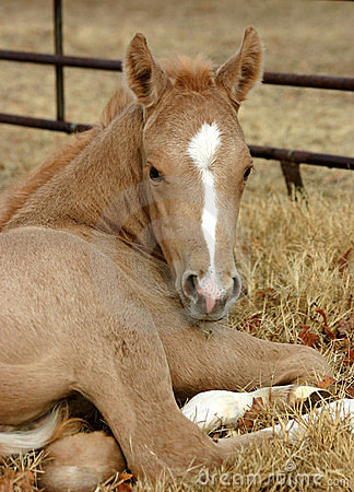 Free Palomino Foal Stock Photography - 535102