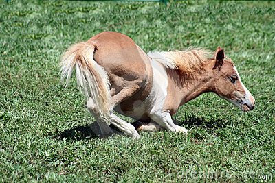 Palomino foal lying down