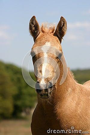 Palomino Foal Portrait
