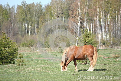 Palomino horse eating grass at the field