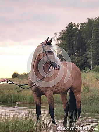 Palomino horse on the gulf