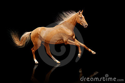 Palomino horse isolated on black