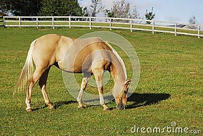 Palomino Horse In Pasture