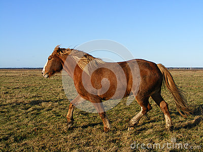 Palomino horse running at the field