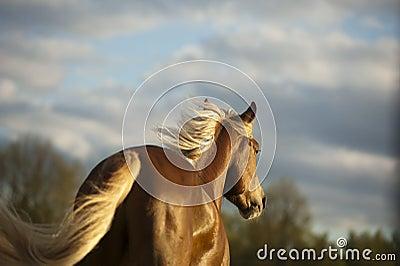Palomino horse in sunset