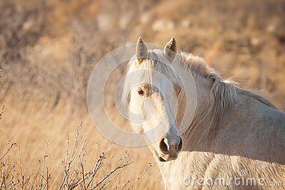 Palomino Horse at Sunset