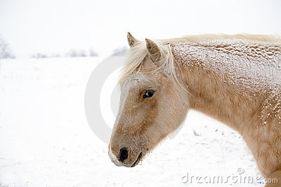 Palomino mare in winter