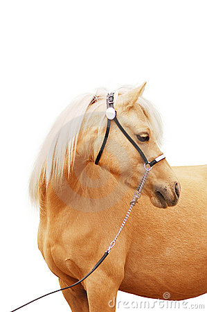 Palomino pony portrait isolated