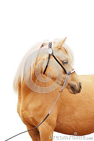 Palomino pony portrait isolated
