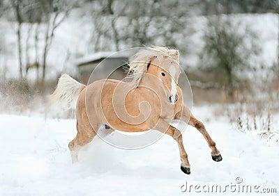 Palomino pony in winter