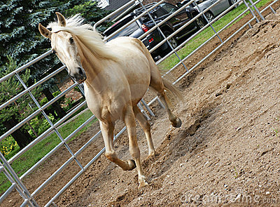 Palomino in the Ring