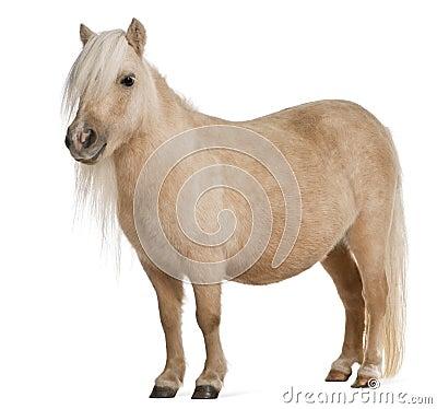 Free Palomino Shetland Pony, Equus Caballus Royalty Free Stock Photo - 17038675