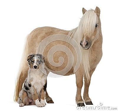 Free Palomino Shetland Pony, Equus Caballus Stock Photo - 17038690