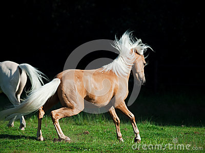Palomino welsh pony in motion at black background
